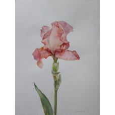 """Картина """"Розовый ирис 1"""", акварель, бумага, 40х30см"""