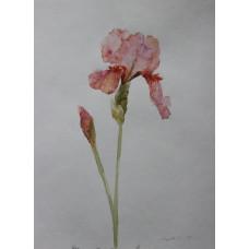 """Картина """"Розовый ирис 2"""", акварель, бумага, 40х30см"""